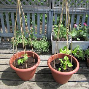 Grow A Vegetable Garden In Pots Growing vegetables in containers pots how to guide beans in pots workwithnaturefo